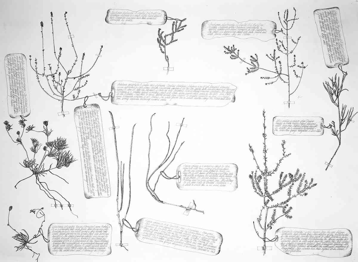 A Selection of the oldest known botanical specimens from the Australian Continent Collected by William Dampier In 1699, ink, each 60 x 72cm SOLD