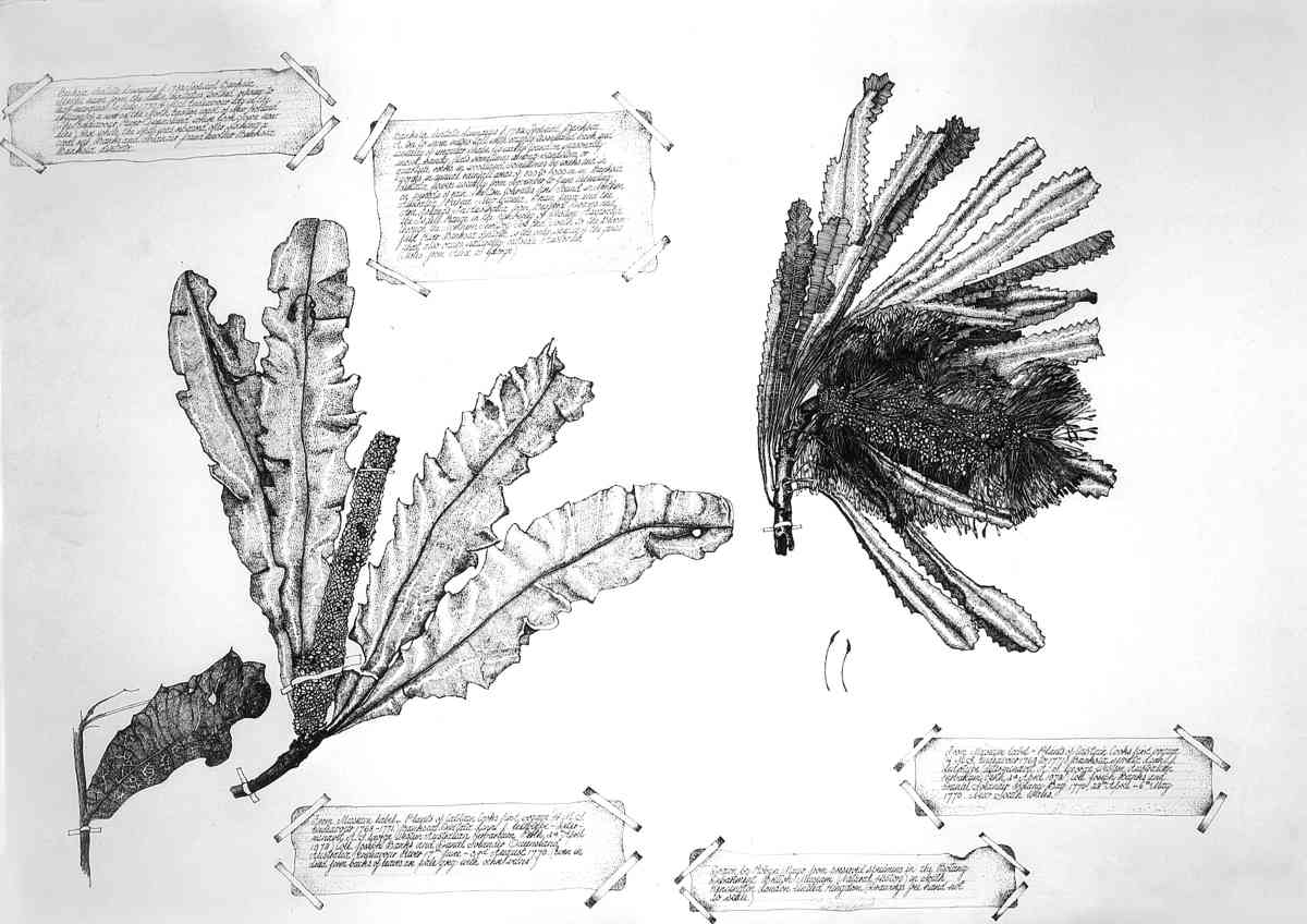 Banksia Serrata Banksia Dentate, 2002, Ink, each 60 x 72cm SOLD