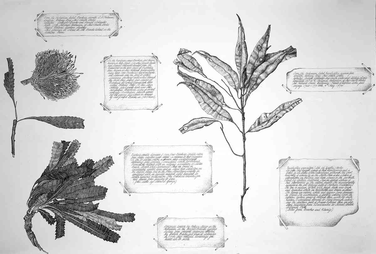 Banksia Serrata with Eucalyptus Gummifersa, 2001, Ink, each 60 x 72cm SOLD