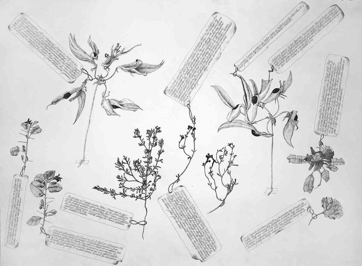 A Second Selection Of The Oldest Known Botanical Specimens From The Australian Continent Collected By William Dampier In 1699 Ink Each 60 X 72Cm