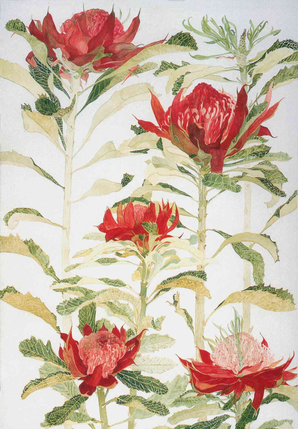 Waratah, Artistic Reflections on the Tree_water colour _75x102mm